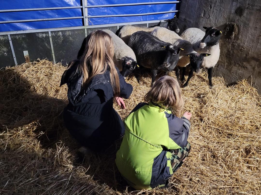 Børnene hilser på de nye får